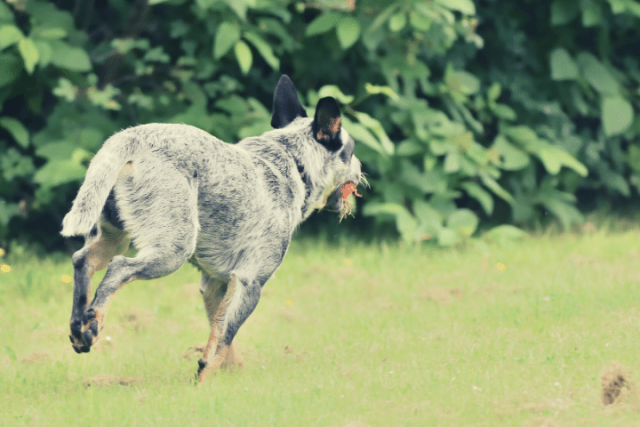 heeler running away with ball
