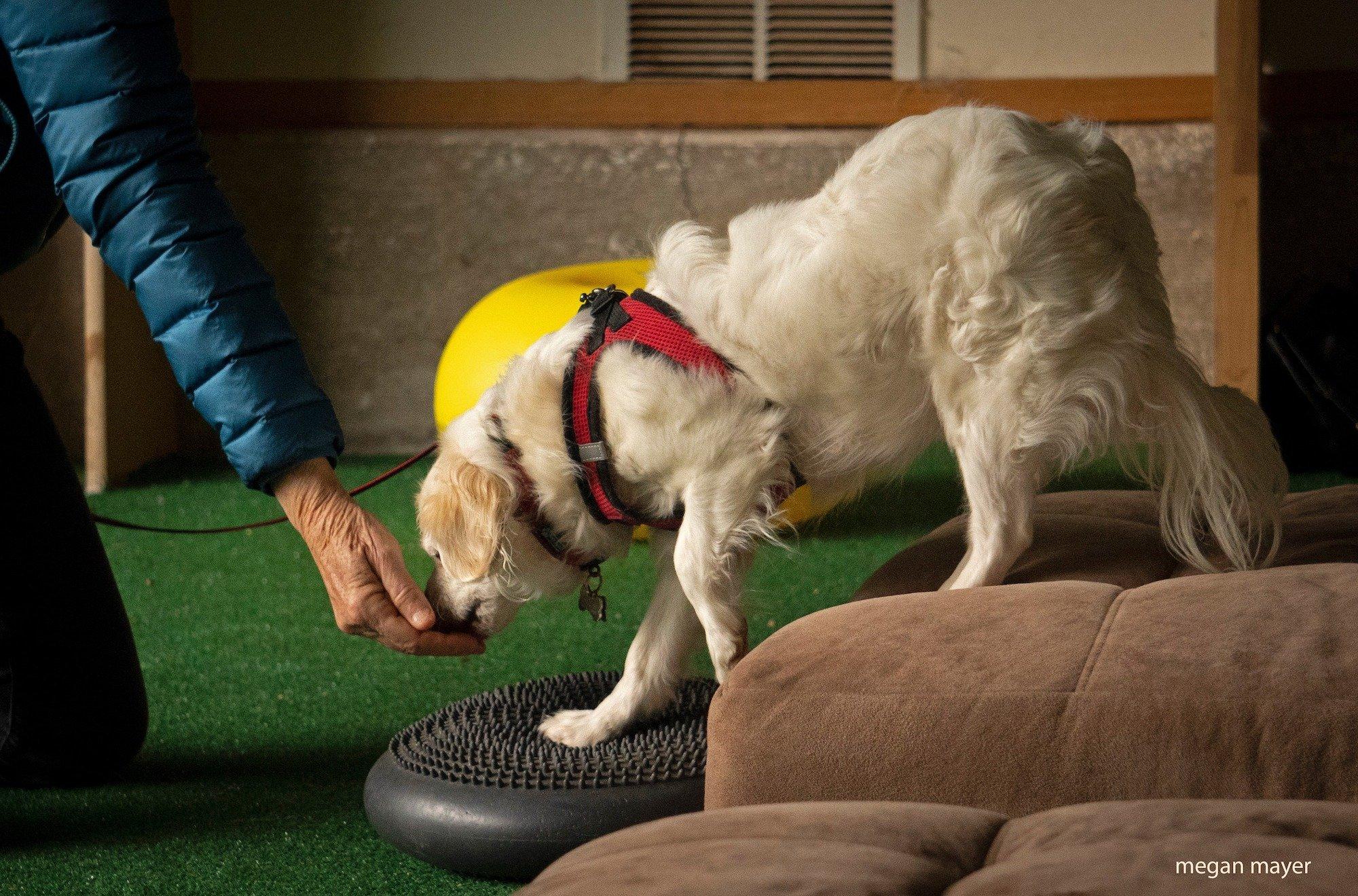 dog stepping on balance disc