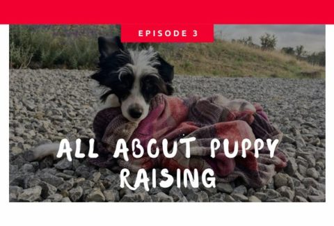 Podcast My Thoughts On Puppy Raising