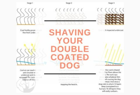 Shaving a Double Coated Dog
