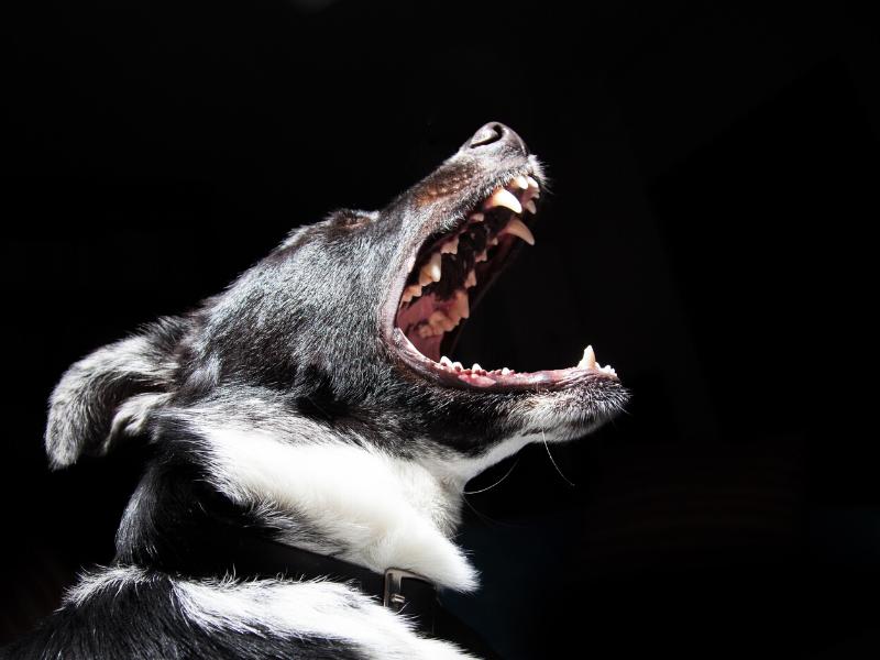 black reactive dog barking