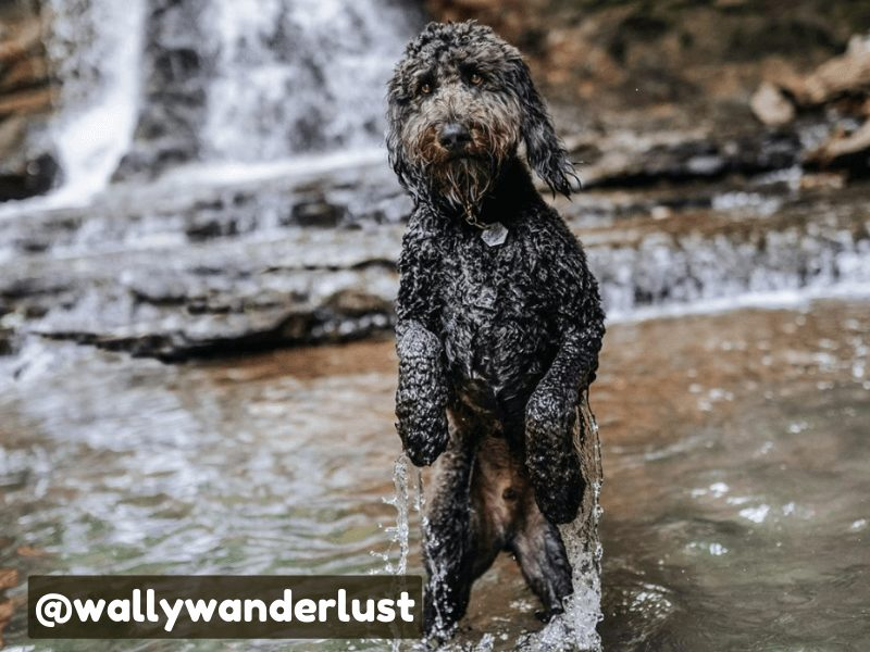 doodle dog in water