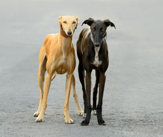 two greyhounds on a road