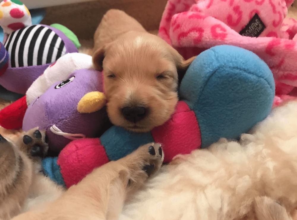 puppy from a breeder