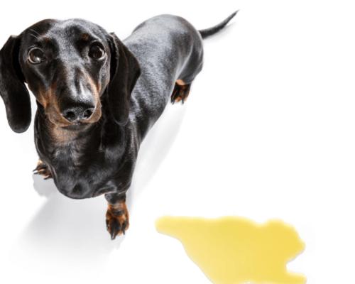 potty training puppy-3