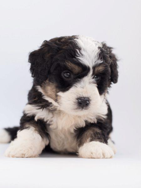 puppy bernedoodle
