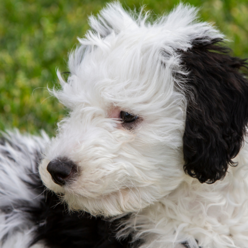 black and white sheepadoodle puppy