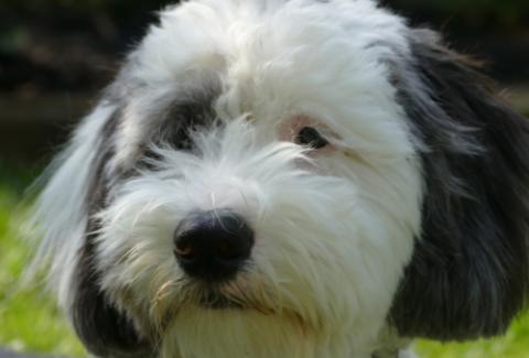sheepadoodle closeup