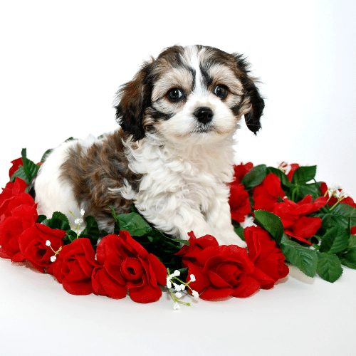 cavachon puppy with roses