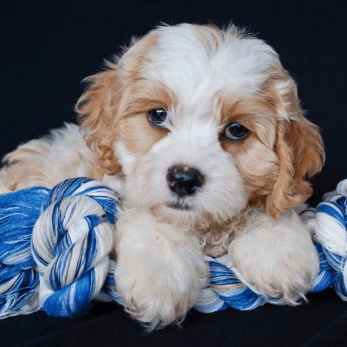 cavachon puppy on rope toy