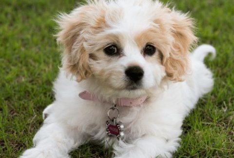 cavachon puppy on grass