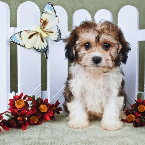 cavachon with butterfly