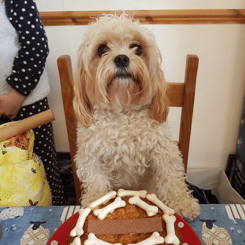 cavachon with birthday cake