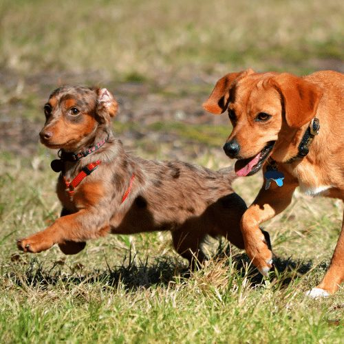 chiweenie and terrier playing