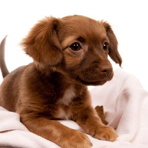chiweenie puppy lying on pink blanket
