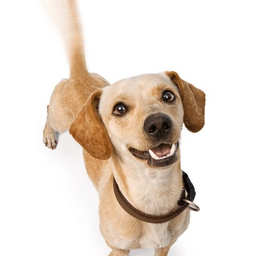 chiweenie looking happy and wagging tail