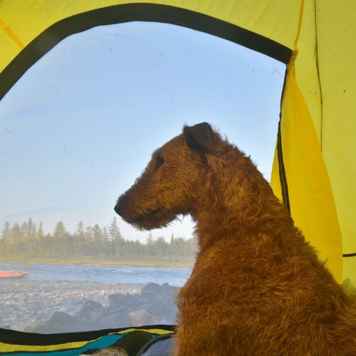 camping in a tent with an irish terrier