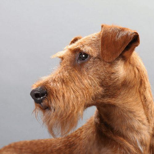 irish terrier head shot