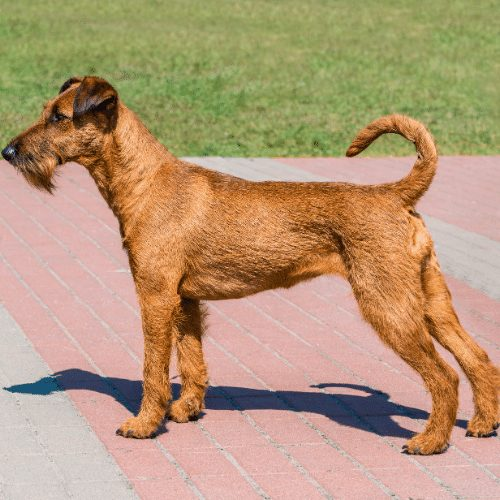 irish terrier appearance