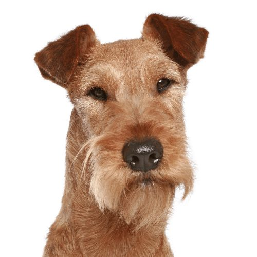 irish terrier brown head