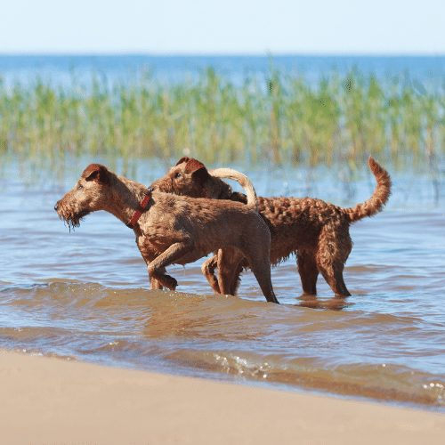 two irish terriers in a lake hunting