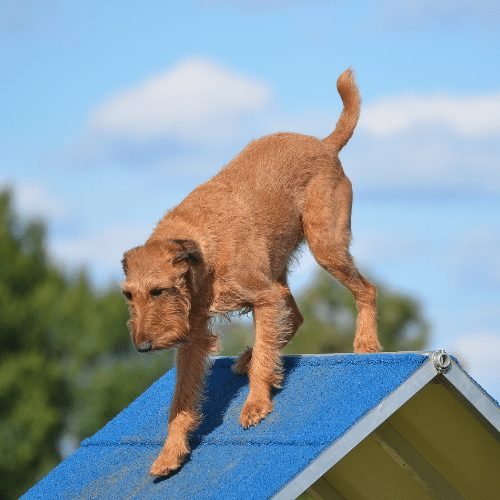 irish terrier in agility in a frame