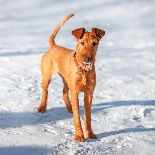 irish terrier with red collar in the snow