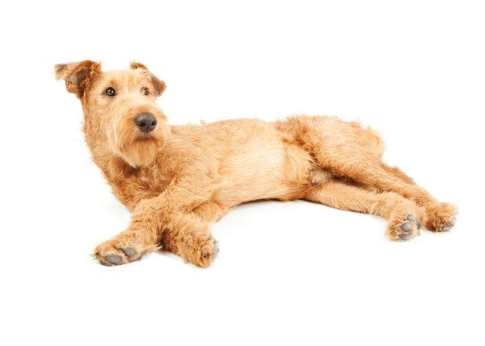 irish terrier on a white surface