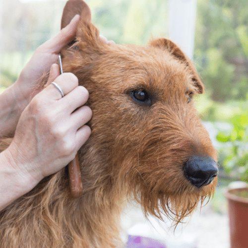 grooming irish terrier