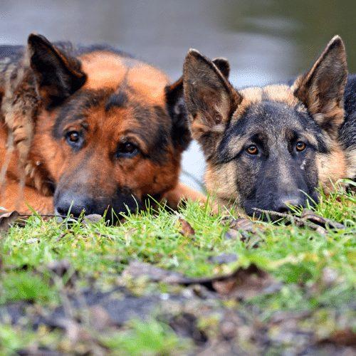 two king shepherd brothers
