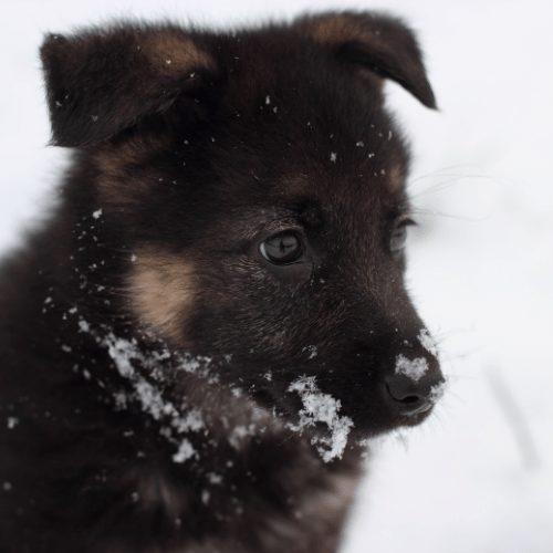 king shepherd puppy in the snow