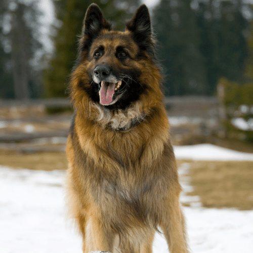 king shepherd in snow