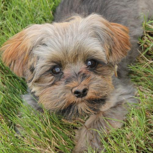 brown morkie puppy
