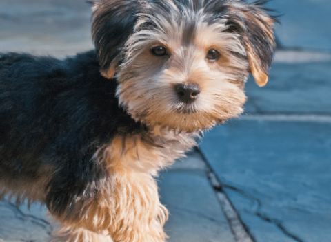morkie on a walk in the city