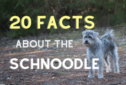 schnoodle facts