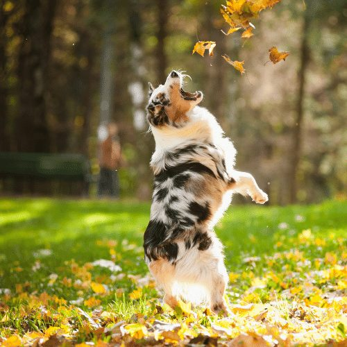 aussie playing in leaves