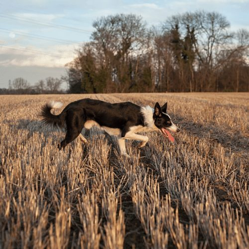 border collie in a field