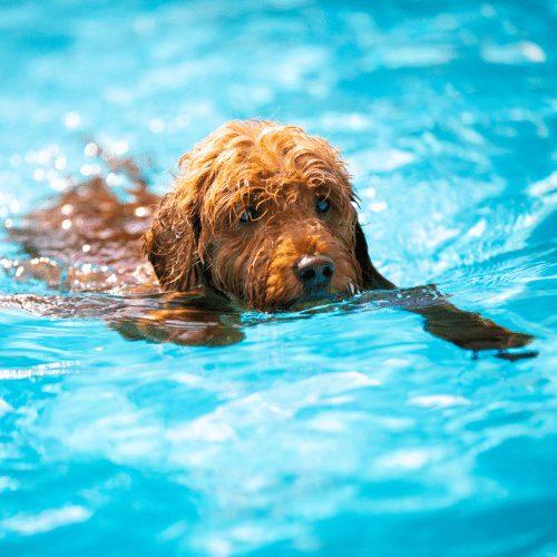 doodle dog swimming