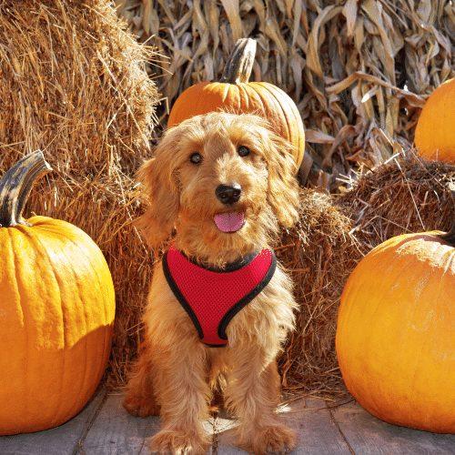 F2 goldendoodle dog with pumpkin