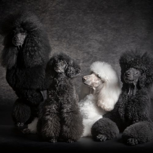 black poodles and white poodle