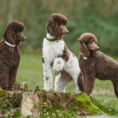 three brown poodles outside
