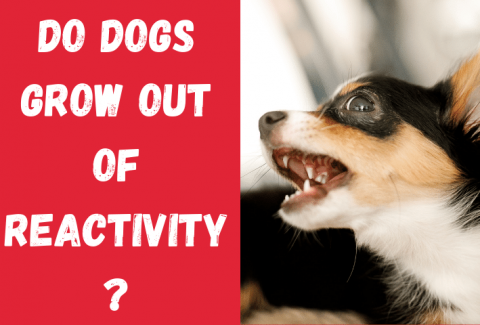 do dogs grow out of reactivity