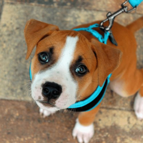 puppy with blue harness