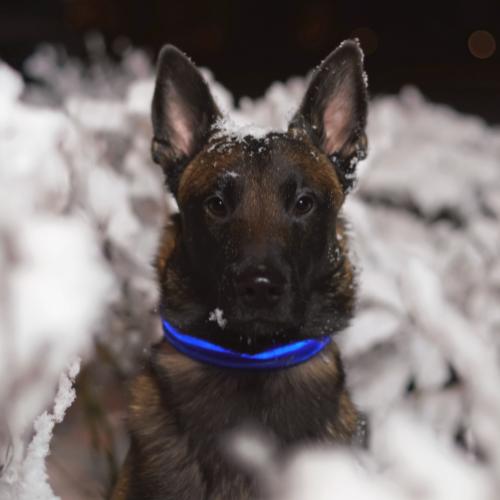 dog with led collar