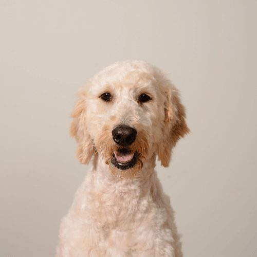 goldendoodle with a short haircut