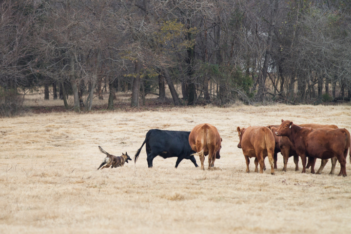 dog herding brown cows