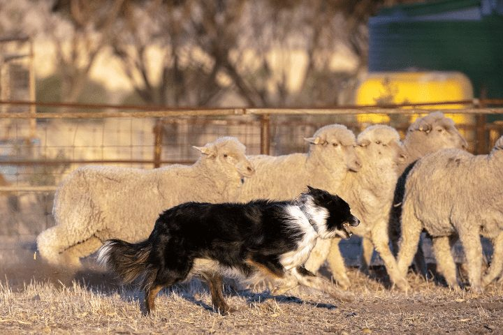 border collie with sheep