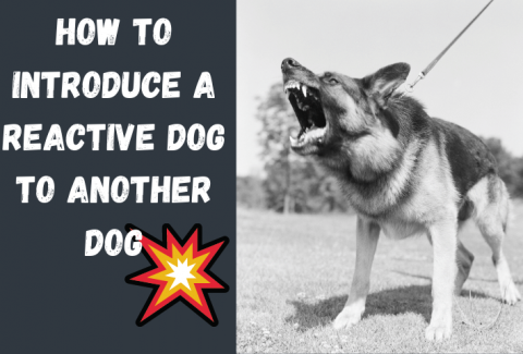 introduce reactive dog to another dog