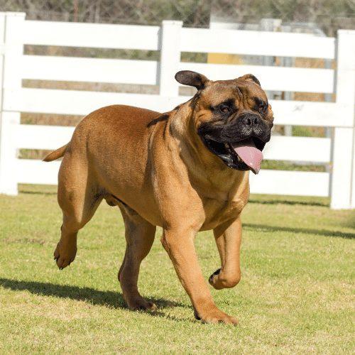mastiff running