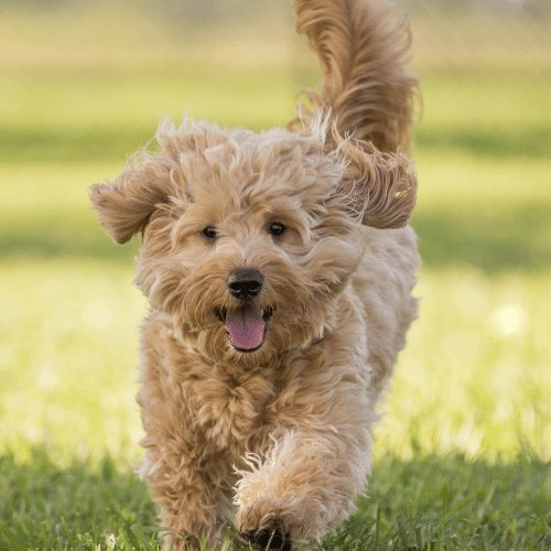 scraggy dog running happily